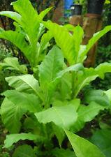 Kentucky burley tabaco semillas cultivo del tabaco tabaco para fumar cigarrillos de tabaco silbatos semillas