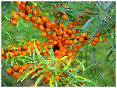 "Hippophae rhamnoides Pollmix-Sea Buckthorn  Plant in 3.5/"" pot"