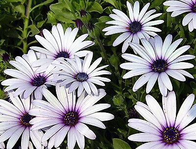 Seeds Flower Osteospermum Flower White and Purple Beautiful Flower Garden Decor