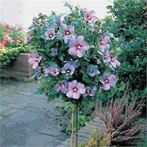 Rose Of Sharon Tree Hibiscus Syriacus 1 To 2 Feet Tall Live Tree Ebay