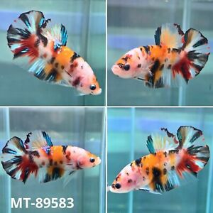 (MT-89583) Mixing Color Candy Nemo KOI Live Male Plakat HM Betta Fish - Grade A+