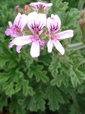 5 Cuttings Lemon Scent Edible Geranium Evergreen Pink Flower Plant Pelargoniums