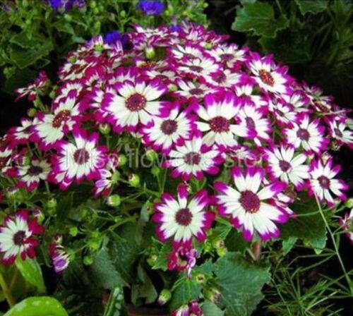 Beautiful Garden Blooming Flower 30 PCSCineraria Florists Mix Colors Seeds B56