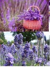 30x Englische Riesen Lavendel Angustifolia Starker Duft Pflanze Saatgut Neu #47