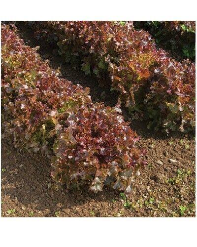Rot Salatschüssel Loseblatt Salat 600-16,000 Samen Frische Erbstück