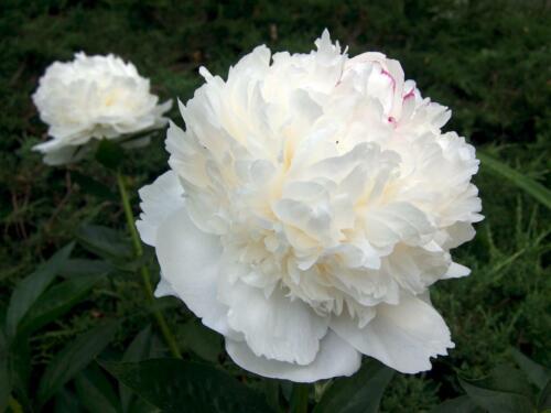 Bareroot Plant Perennial Pack x1 Paeonia Lactiflora /'White/' White peony