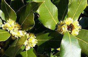 2x-BAY-LAUREL-plant-Laurus-nobilis-evergreen-tree-plant-aromatic-leaves