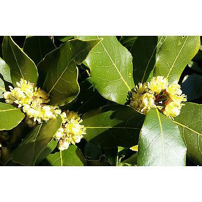 BAY LAUREL plant Laurus nobilis - evergreen tree plant aromatic leaves 1 yr old