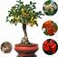 20-Pcs-Graines-Osmanthus-fragrans-Bonsai-Sweet-Olive-Tree-Plantes-Cultivees-Jardin miniature 1
