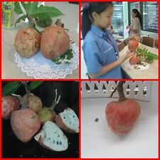 10 seed RED CUSTARD APPLE  ANNONA RETICULATA RARE SWEET FRAGRAN PRIMORDIAL RARE