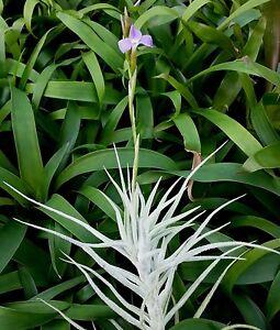 Bromeliad-Tillandsia-paleacea