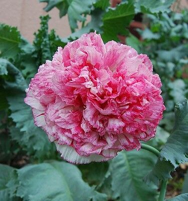FLOWER POPPY PAPAVER PAEONIFLORUM FLEMISH ANTIQUE 20,000 SEEDS