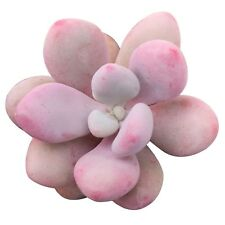 Moonstones Succulent Pink Moonstone Plant Pachyphytum Oviferum Rosette (2 inch)