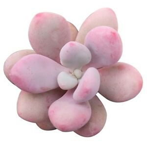 Moonstones-Succulent-Pink-Moonstone-Plant-Pachyphytum-Oviferum-Rosette-2-inch