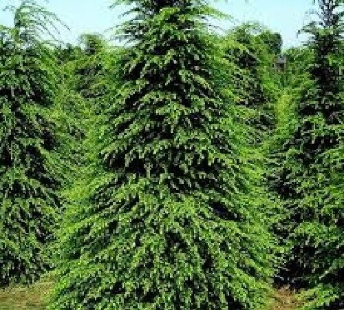 Paw Paw Tree 10 Fresh Cuttings Plus More Trees and Shrubs Root Your Own