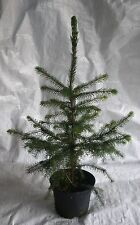 Serbian Spruce,Picea Omorika,Christmas Tree Conifer and Bonsai 50 - 75cm inc pot