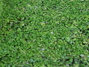 Bulk Duckweed For Koi Fish Ponds 1 Oz To 3 Pounds Free Shipping Ebay