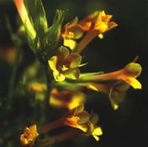 25 Graines Fleur-Polemonium pauciflorum soufre trompettes-Jacobs Ladder