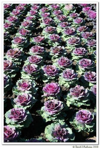 50 Gemischt Ornamental Kohl Blühend Brassica Oleracea Samen Kamm S//H
