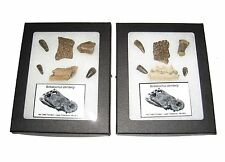 Cretaceous Borealosuchus scute tooth fossil collection riker display dinosaur