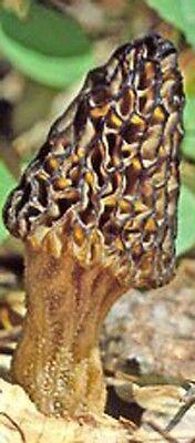 TRUE MOREL mushroom spores/mycelium / (on dry seeds) 15 gram