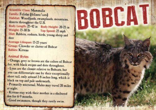 Mexico Animal Information Postcard North America US Bobcat Canada Wildcat