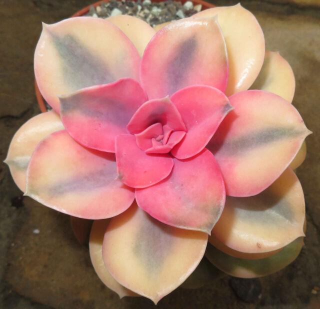 Succulent Live Plants - Echeveria cv Rainbow Variegata 5cm - Lovely Rare Plants