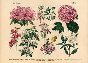 Schöne Blumen Garten Pflanzen Große Lithographie 1869 Altkoloriert
