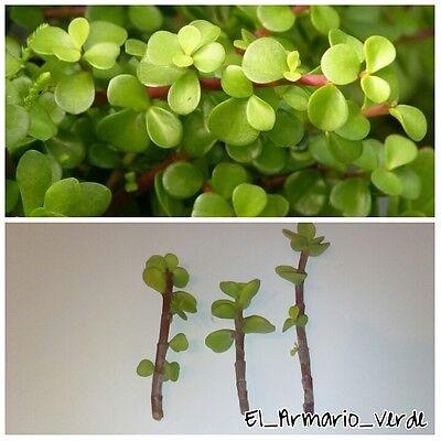 2 Esquejes de planta del dinero Plectranthus verticillatus Money Maker