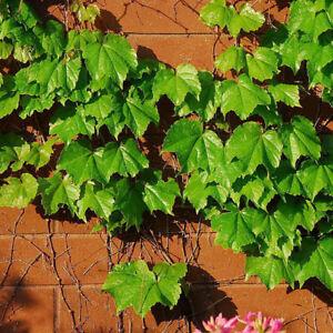 Am-50Pcs-Green-Boston-Ivy-Vine-Seeds-DIY-Home-Garden-Outdoor-Climbing-Rare-Seed