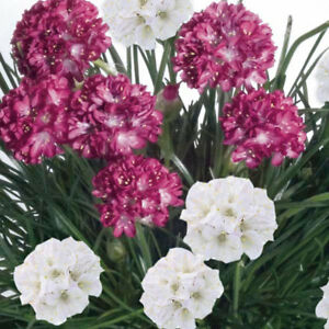 12-x-Armeria-Maritima-Morning-Star-Mix-Mini-Plug-Plants-Hardy-Perennial