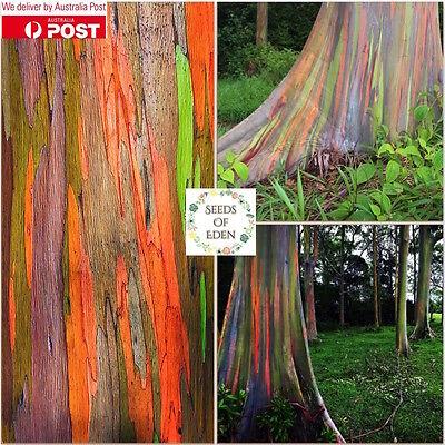 100+Seeds Rainbow Eucalyptus Tree Seeds Eucalyptus deglupta