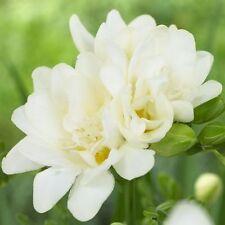 5 Freesia White Color Fragrant Flower Bulb Summer Blooming Plant