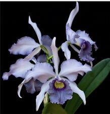 Lc Canhamiana 'Azure Skies' Blooming Size Orchid Plant Cattleya (7083)