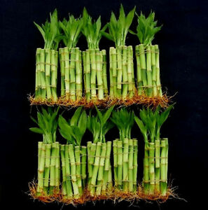 100-Stalks-10-Bundle-of-4-Straight-Lucky-Bamboo-Free-Shipping