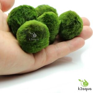 5-Moss-Balls-1ExtraFREE-live-aquarium-plants-Marimo-Ball-shrimps-fish-tank-nano
