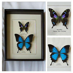 Real-Weiskei-amp-Ulysses-Butterfly-Hand-Set-Framed-In-UK-Beautiful-GIft-Taxidermy