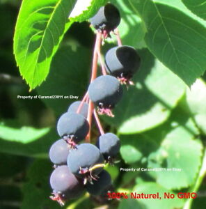 2-500-seed-Smooth-serviceberry-Amelanchier-laevis-Allegheny-Saskatoon