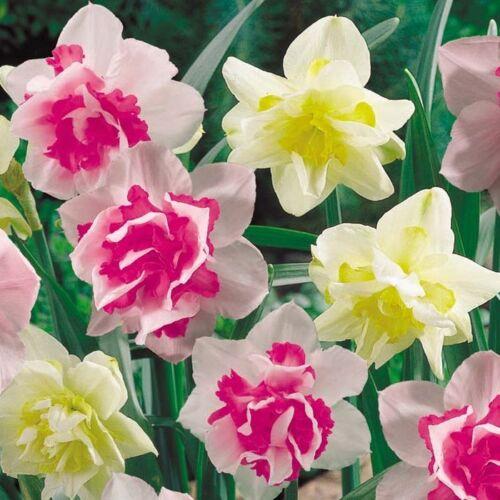 "/""Tahiti Sunrise Dahlia Root/"" Spectacular Cut Flowers New Flower Bulb"