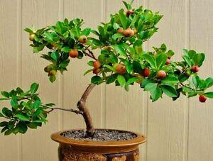 guava fruit tree fresh seeds houseplant or bonsai tasty edible giant fruit ebay. Black Bedroom Furniture Sets. Home Design Ideas
