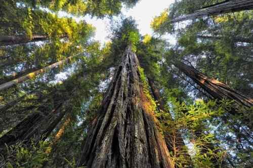 50 Sequoia sempervirens Küstenmammutbaum Samen Mammutbaum seeds