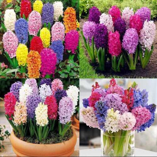 300stk Hyazinthe Samen Einfach Wachsen Mischfarbe Blumensamen Hausgarten NEUE