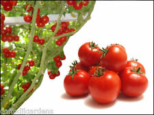 Rare Giant Italian Tomato Tree Seed Garden Plant - Vegetables/Fruits 50 Seeds