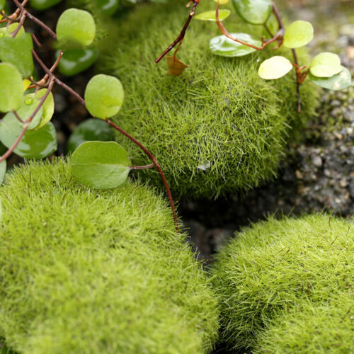6X Marimo Stone Moss Miniature Dollhouse Garden Craft Fairy Bonsai Plant Deco JD