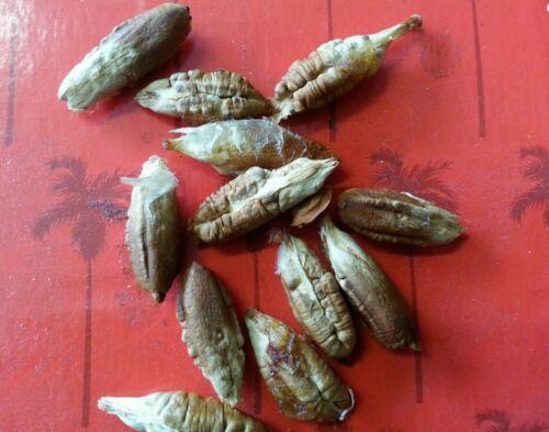 RARE Egyptian Variety 20 Palm seeds medjool dates seeds Sweet Egyptian Date!!