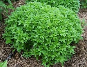 250-Basil-Seeds-Spicy-Globe-Herb-Seeds