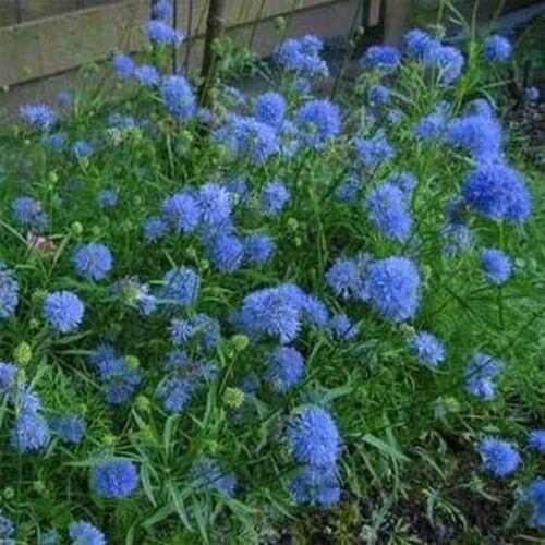 100 Seeds Gilia Capitata