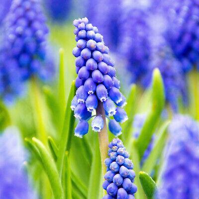 100 Muscari Armeniacum Grape Hyacinth Spring Blue Flower Garden Perennial Bulbs