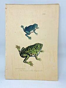 Original-Antique-Lacepede-1832-Hand-Colored-Plate-22-Bullfrog-Frogs-Amphibians