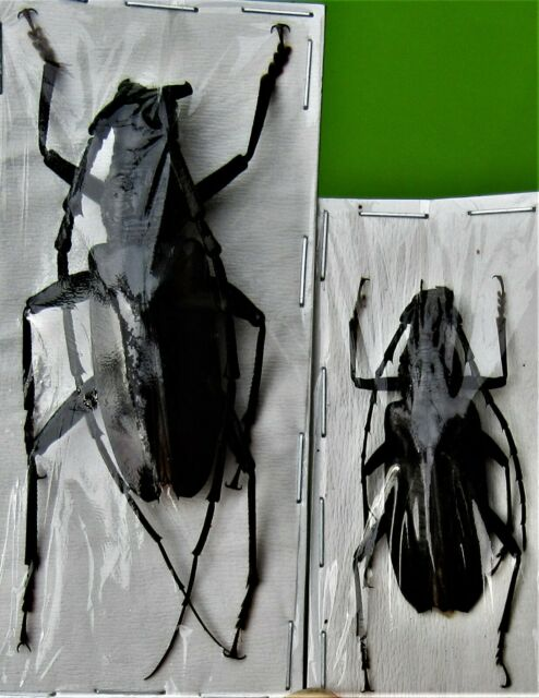 Rare Long-horn Beetle Parepepeotes rarus FAST FROM USA